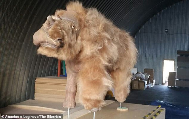 The find was made close to the site where the only-known baby woolly rhino specimen — dubbed Sasha — was excavated back in 2014. Pictured,Sasha cleaned up and on display