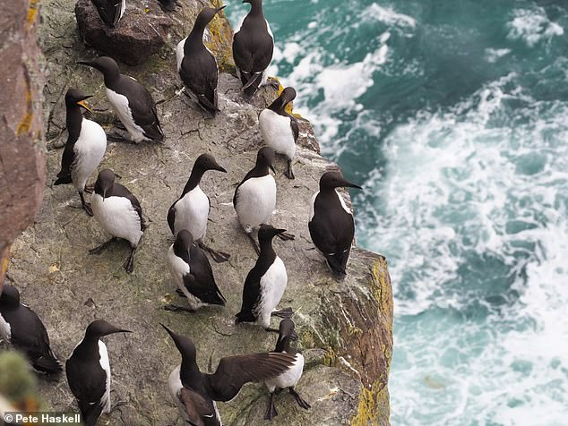 Guillemots on Handa Island.Based on data from 10 plots, sampling guillemots across the island of Handa, this bird species' population has increased for the third consecutive year. 2020 witnessed the highest number of guillemots recorded on Handa since 2004. Guillemots breed on sheer cliff faces but spend most of their time out at sea