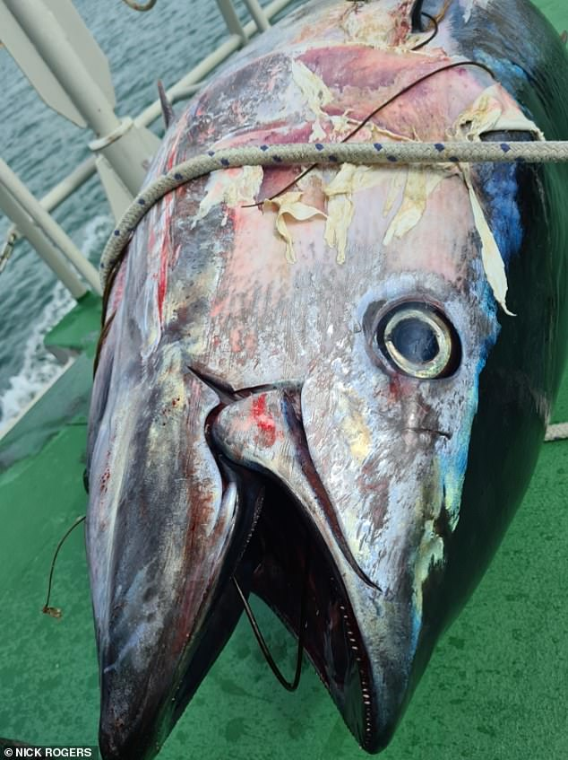 Bluefin tuna are still a fairly rare sighting in UK waters, but sightings have been increasing in recent years