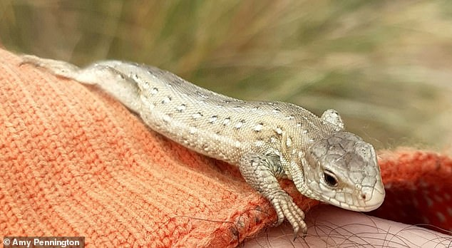 Sand lizard on a person's arm at Fylde Sand Dunes, Lancashire, England.the lizards are breeding – thriving for the first time since the 1960s, thanks to the work of Lancashire Wildlife Trust