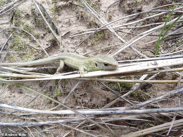 Sand lizard pictured at Fylde sand dunes - described as an important feature of the Lancashire coastline