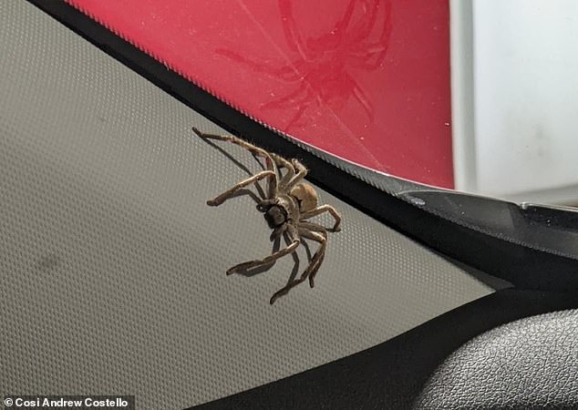 Emma was driving when she saw the huntsman mother (pictured) inside of her car next to the windshield. She stopped at a service station to remove the mother and drove off before the babies hatched in the moving vehicle