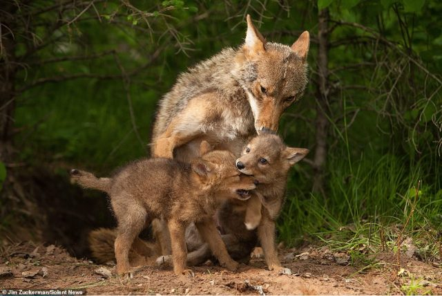 As well as showing affection to their mother, the young coyotes were also seen play fighting