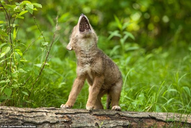 One of the adorable young coyotes tested out their howling skills, copying its mother