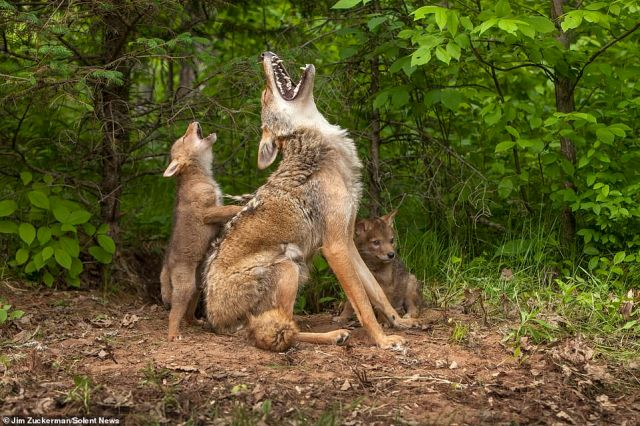 The mother coyote flashed her set of sharp white teeth and she howled with delight alongside her pups, who joined in too