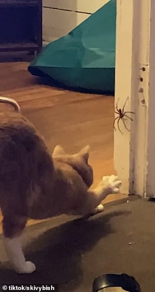 The owner screamed as Cinnamon the ginger cat (pictured) jumped on the polite visitor
