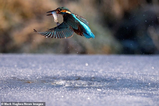 The kingfisher is seen flying away with the fish in her mouth after skilfully catching the prey