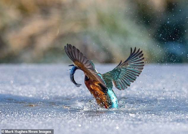 Mark revealed how he was 'amazed' when the vivid blue bird plunged beneath the frozen lake