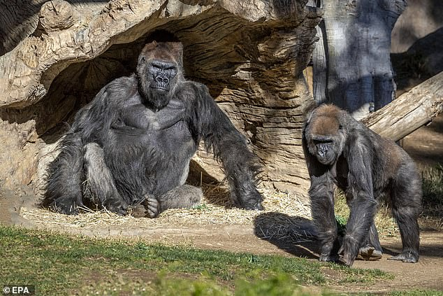 Members of the San Diego Zoo Safari Park gorilla troop, pictured, have tested positive for the SARS-CoV-2coronavirus which causes the Covid-19 disease