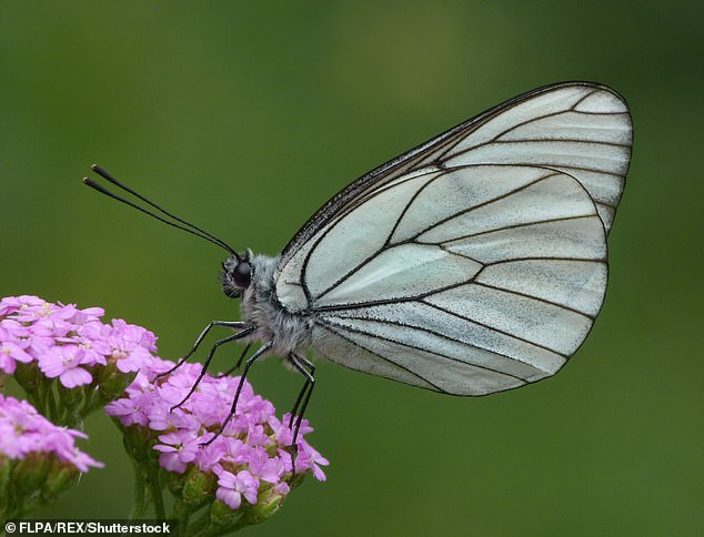 Worryingly, almost one in ten British butterfly species has become extinct due to meadow destruction, including the Black-veined White (pictured)