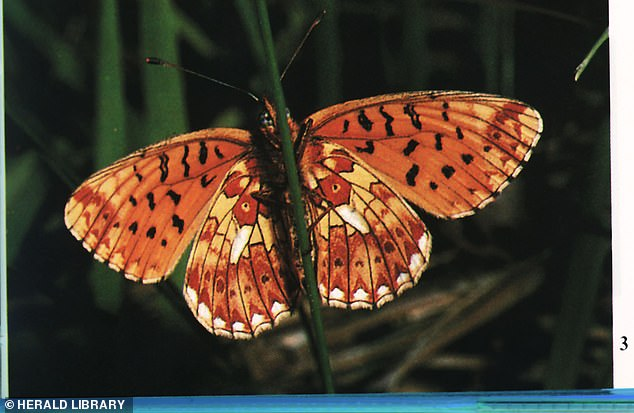 Species including the Pearl-bordered Fritillary and small Pearl-bordered Fritillary (pictured) usually live in open woodland spaces, and have all seen a decline in recent years
