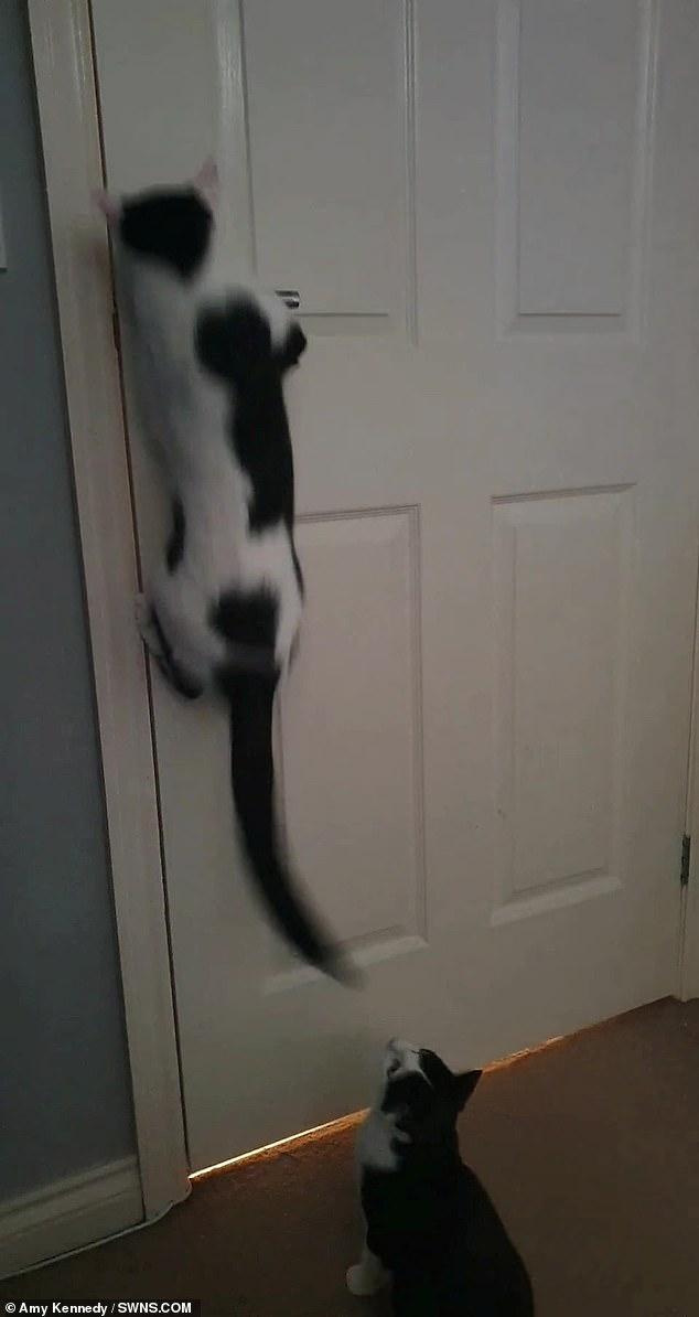 Mischievous moggy caught opening doors