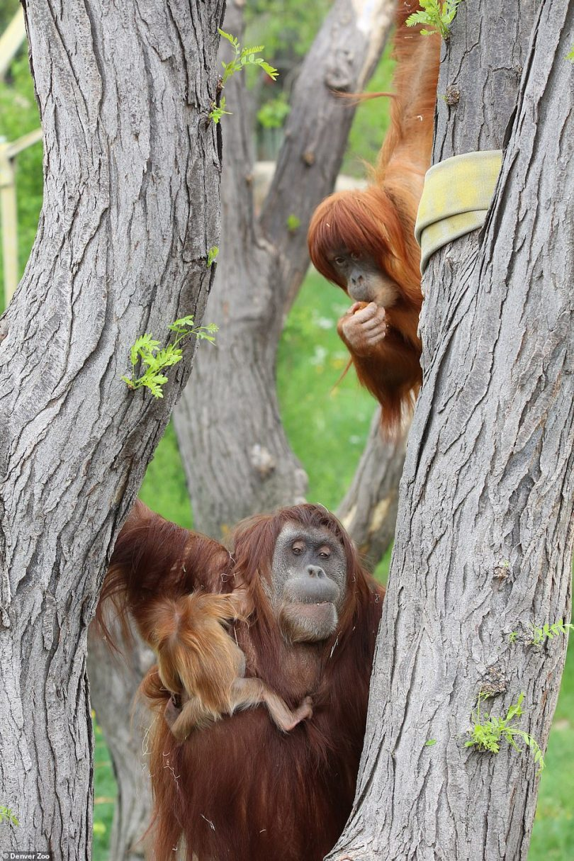 Zookeepers said they are unsure how Nias (pictured with her daughters) died. They are awaiting the results of a necropsy from their partners at Colorado State University¿s College of Veterinary Medicine & Biomedical Services