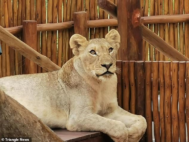 David De Beer, whose father's home garden had been temporarily taken over by the big cats, said he was surprised to find 'someone has already moved in' to the vacant property