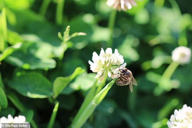 Honeybee on white clover at the National Botanic Garden of Wales. The white clover has gone from being the most popular flower for bees to second most popular after bramble