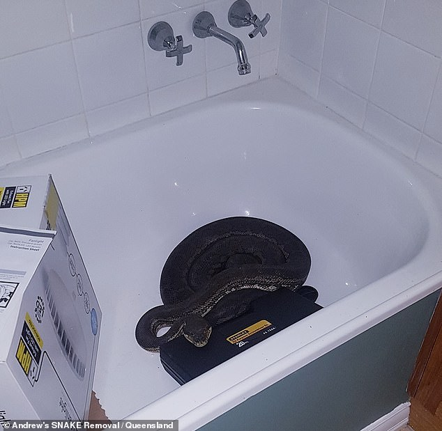 The snake catcher said the python was in the process of shedding its skin