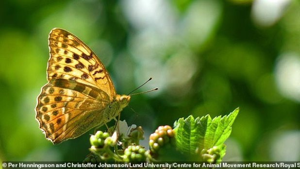 Researchers believe that the added emphasis at takeoff may help butterflies avoid predators such as frogs and birds