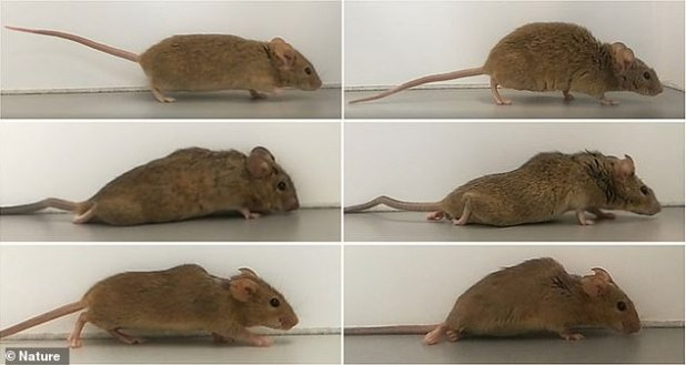 Researchers prompted damaged spinal nerves of paralyzed mice to regenerate using a designer protein.  Paralyzed rodents had lost mobility in both legs, but started walking in just two to three weeks after receiving treatment