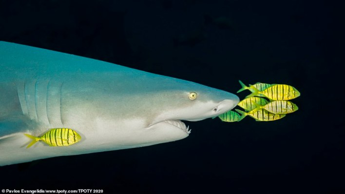 'Don't worry, the fish are fine,' said the photographer behind this image - Pavlos Evangelidis, from Greece. He snapped it in the Beqa Channel in Fiji and it secured him the honour of winning the 'best single image in nature, sealife, wildlife' category. Evangelidis continued: 'They're pilot fish – or, to be precise in this case, golden trevallies. They help the shark navigate and keep clean in exchange for scraps and protection'