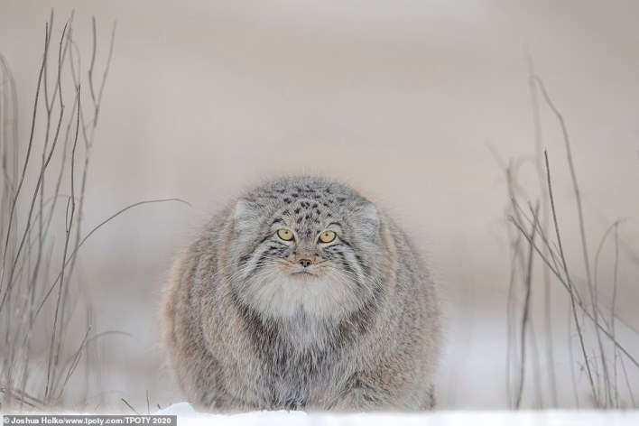 Australian Joshua Holko received a special mention for this striking image of a Pallas cat in Mongolia. He said: 'The Pallas cat is instantly distinguishable by its round pupils and almost totally round body. In its winter coat the cat is nearly as round as it is long. Aware of my position the cat watched curiously and without fear as I slowly repositioned myself to get the composition I wanted'
