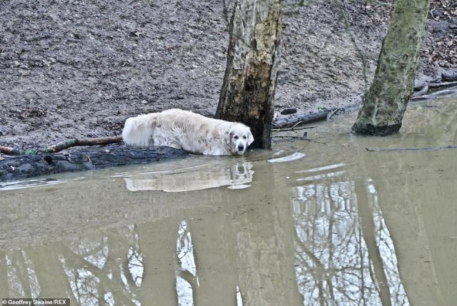 A Labrador dog goes into the water in the woods at Clayfield Copse in Berkshire this morning