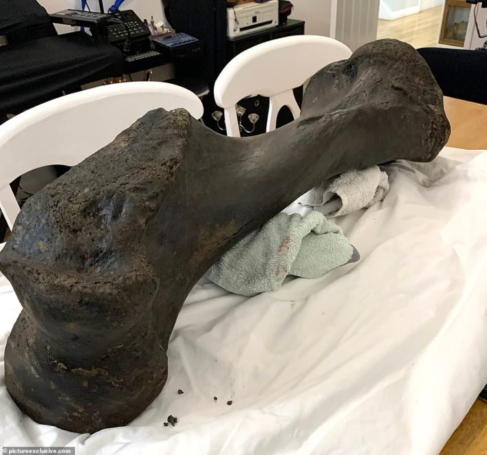 Weather eroded a cliff exposing the giant humerus bone (pictured) which could be between 10,000 and 125,000 years old,according to a local palaeontologist
