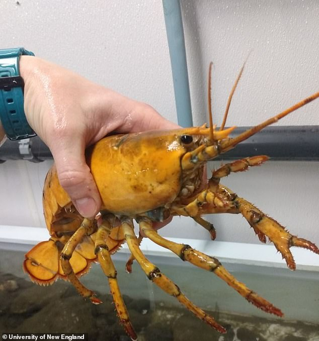 A Maine fisherman recently made a one-in-30 million discovery – a yellow lobster
