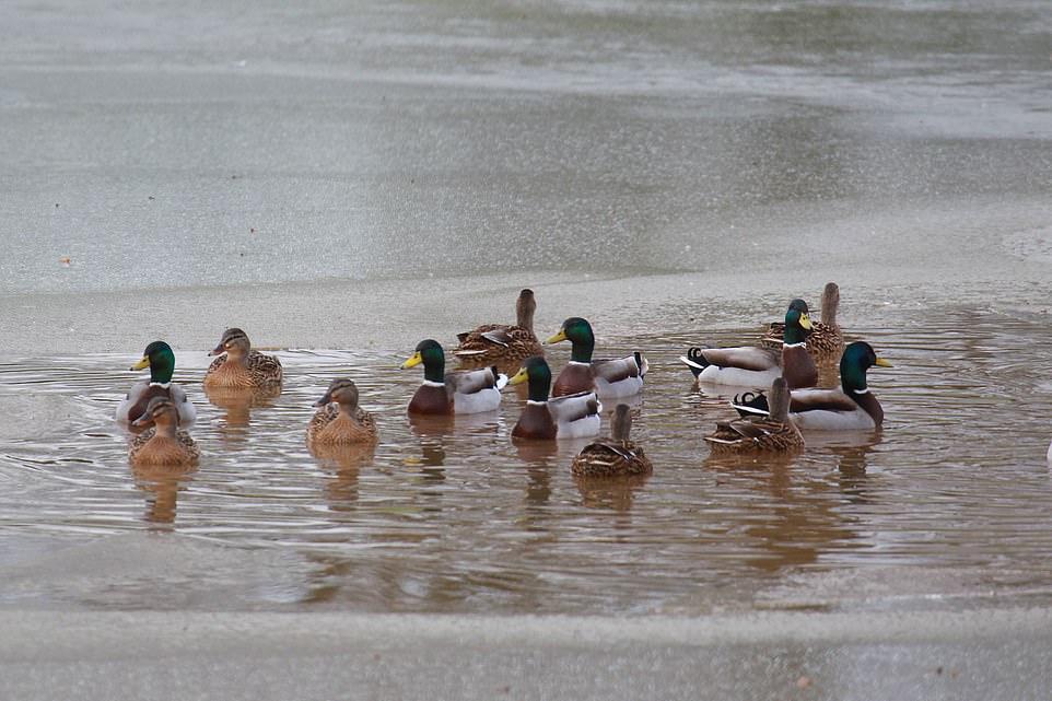 Ducks on frozen floodwater on farm land near Rodmarton in Gloucestershire today