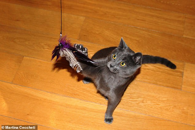Fed up with kitty bringing home 'little presents'? Playing with your cat (like with a feather wand, pictured) and feeding them meat-rich foods can deter them from hunting wildlife