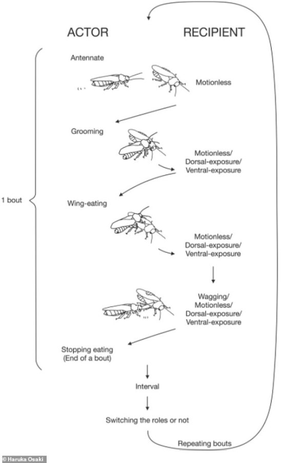 A typical set of winged eating behaviors.  Both male and female can be actors in each bout