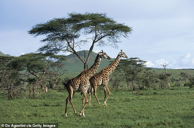 During the first month of life, a calf sticks close to its mother. After that, it joins a group of other young giraffes looked after by a 'babysitter' cow for a year