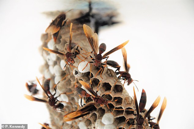 Researchers from the UK studied some 20,000 baby Neotropical paper wasps (pictured) and their carers from 91 different colonies in Panama, including near the canal