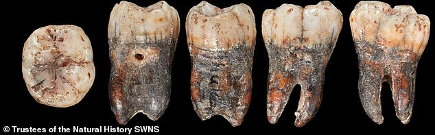 The tooth was discovered in the cave in the 1920s and sat in a private collection for most of the 20th century until it was donated to the Natural History Museum in 2001