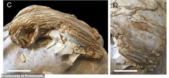 Paleontologists from the University of Plymouth have identified a lung fossil belonging to the 16-meter coelacanth, the largest recorded.  In the picture: Representations of the lungs of the coelacanth, which show overlapping bone plates