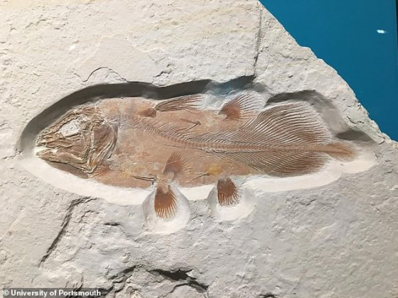 Paleontologists believed that the fish became extinct at the end of the Mesozoic era until a living coelacanth was found in South Africa in 1938.  In the picture: Complete fossil coelacanta