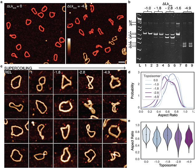 Images are so detailed it is possible to see the iconic double helical structure of DNA, but when combined with the simulations, the researchers were able to see the position of every single atom in the DNA and how it twists and writhes