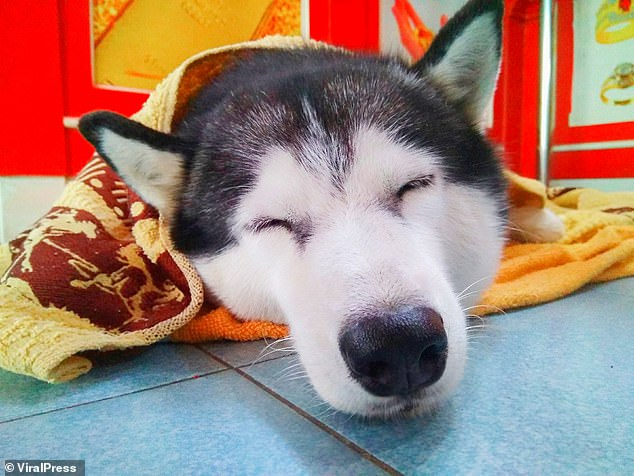 Lucky, pictured asleep on the floor, has not been fired by MrLomwanawong, as he claims the husky brings him luck