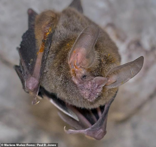The team studied the 'perfumes' emitted from smelly crusts that male fringe-lipped bats — Trachops cirrhosis— diligently apply to their forearms every mating season, as pictured