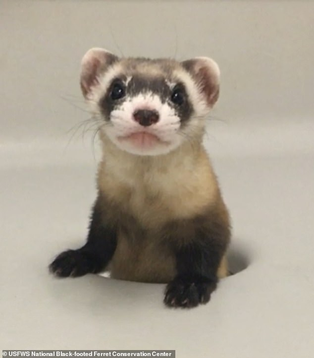 Elizabeth Ann was cloned from genetic material from Willa, a ferret captured in the wild more than 30 years ago