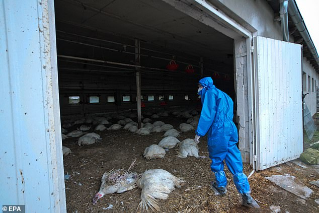 Russia has announced it has identified its first human cases of the H5N8  bird flu virus in humans. Here birds are culled in Glinik, Poland after being infected with the disease