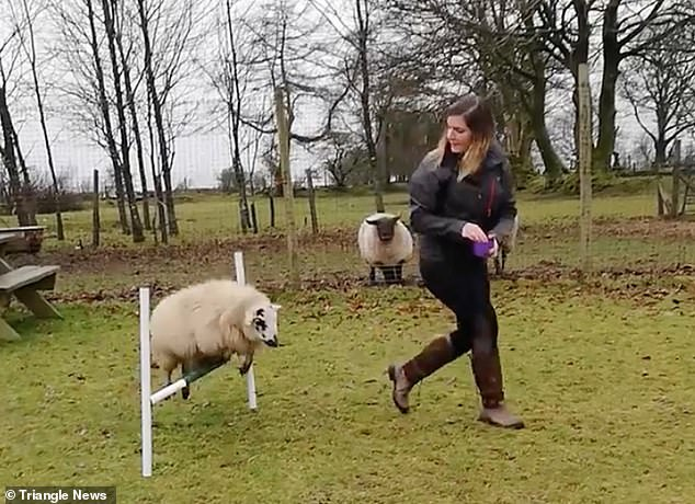 Becky Reeves, 26, who runs Blaenplwyf Dog Training in Llanybydder, Wales, has trainedLuna the sheep to race over jumps on a dog agility course
