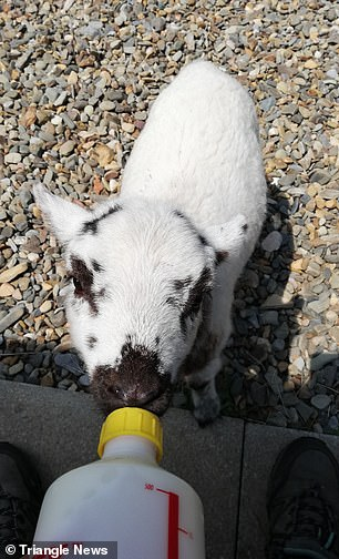But Becky told the farmer she would bottle feed the little lamb to give her a fighting chance at life