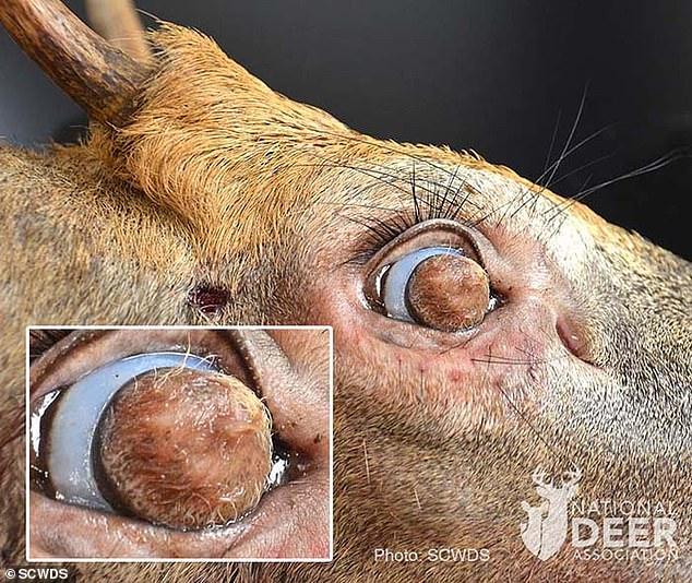 Congenital and usually benign, dermoids can be composed of hair follicles, sweat glands, fat and other elements of normal skin. They can affects cats, dogs, and even humans, but have rarely been reported in deer