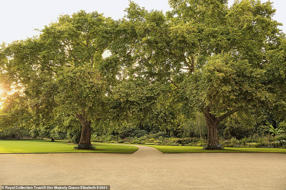 The book also reveals that the Queen receives a seasonal posy, made from the garden's blooms, every Monday when she is in residence. Pictured: The garden's two most famous plane trees are known as Victoria and Albert. They are named after Queen Victoria and her beloved consort. The couple planted the trees more than 150 years ago