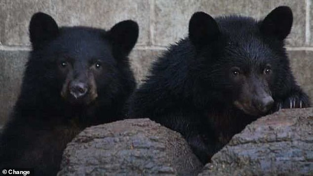 The cubs (pictured) were successfully released back into the wild