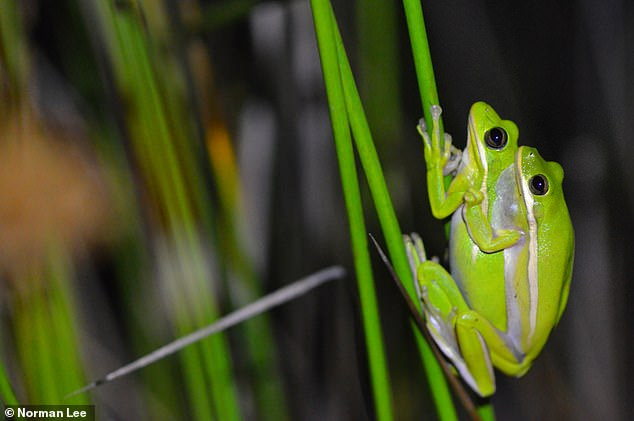 This image shows a pair of American green tree frogs mating. Researchers chose to examine data from this species due to a high rate of co-calls with other frog species