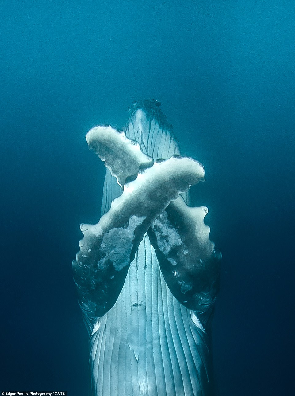 David, from Sydney, Australia, managed to capture these incredible images while on a free dive and added that these group of whales were relaxed and curious around him