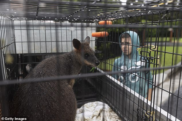 A Wallaby owned by local keeper Paul Zammit is seen on the back of a ute in McGrath's Hill after being rescued by Paul's best friend Richard Gretch on March 22