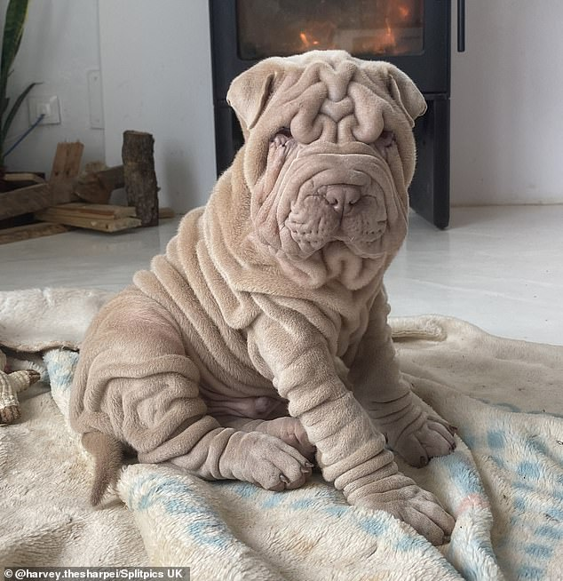 While this adorably sagging Shar Pei does well with his wrinkles, his owner says he is maintenance-free.