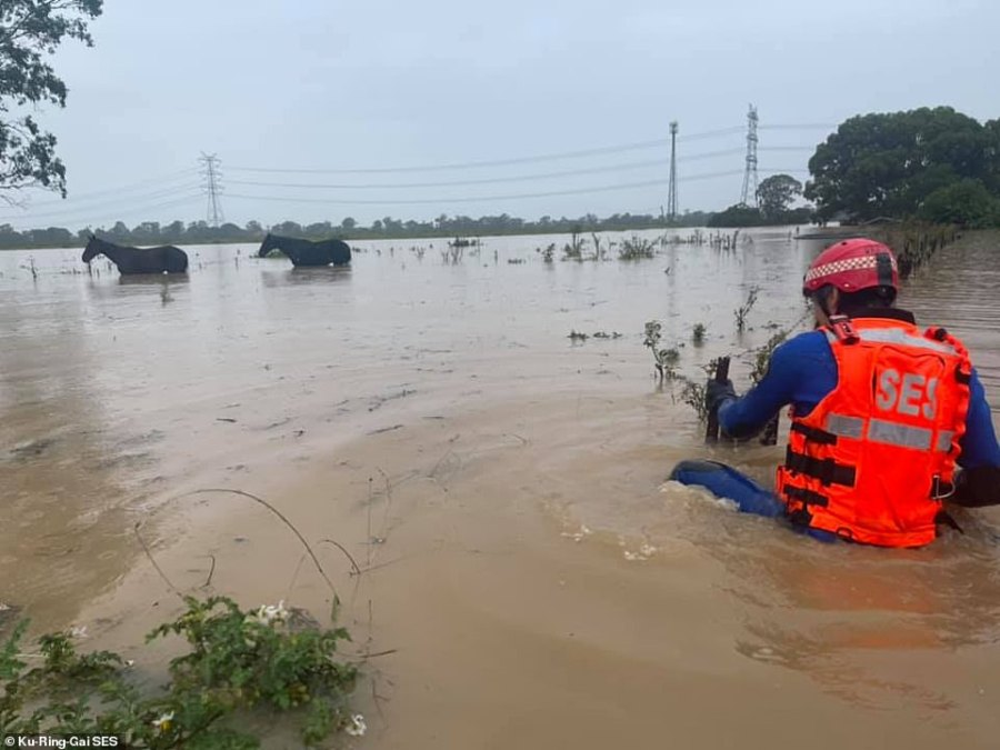Two horses are seen in standing floodwater on the New South Wales coast as an SES crew member attempts to help